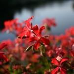 lugoj-flori-rosii