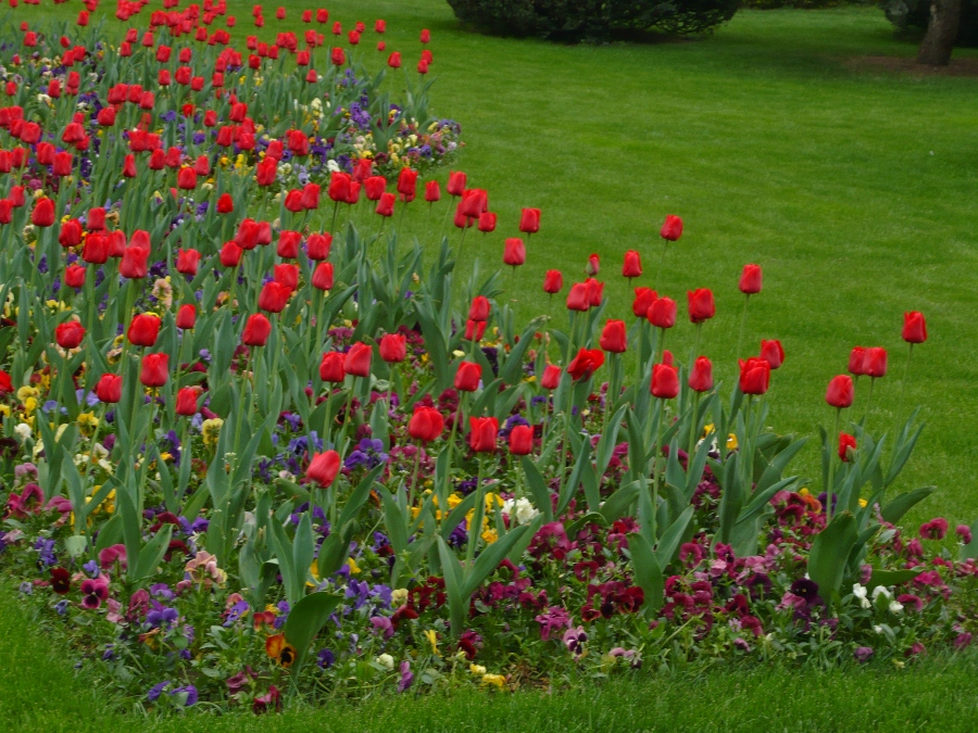 lalelel rosii in Timisoara