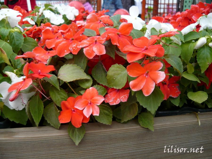 flori rosii
