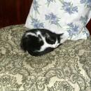 pisica mica