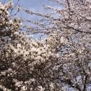 cand magnoliile au intalnit corcodusul