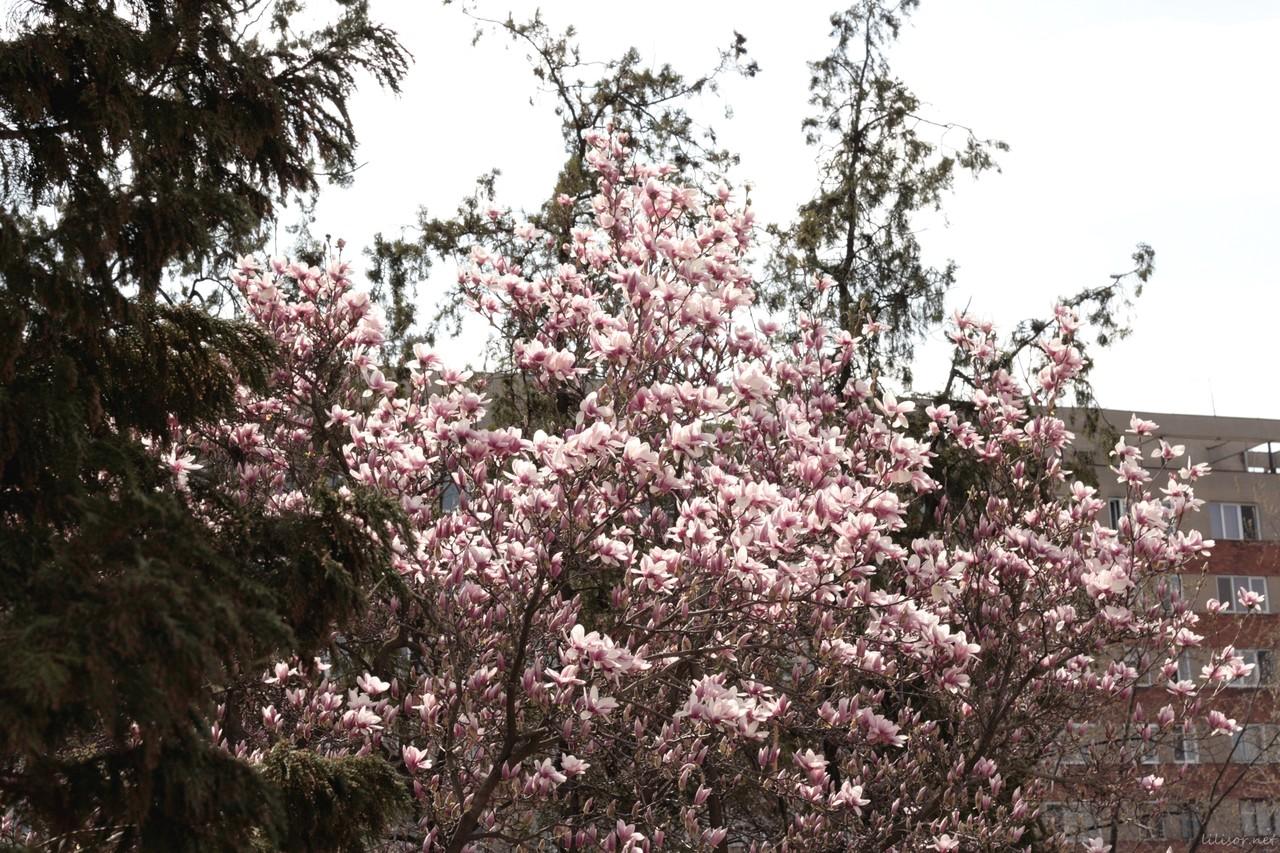 magnolii roz