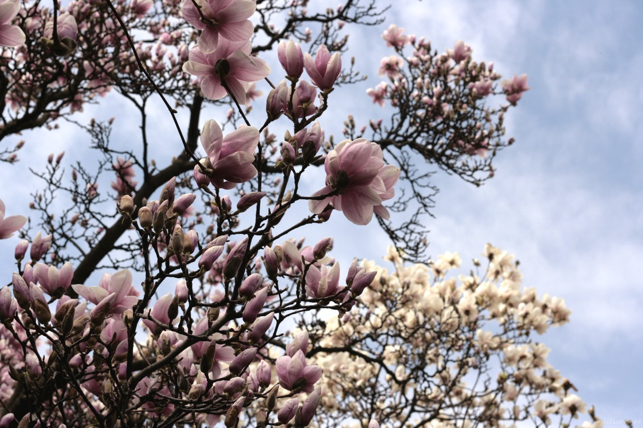 magnolii roz si magnolii albe