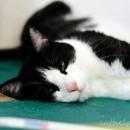 pisica somnoroasa
