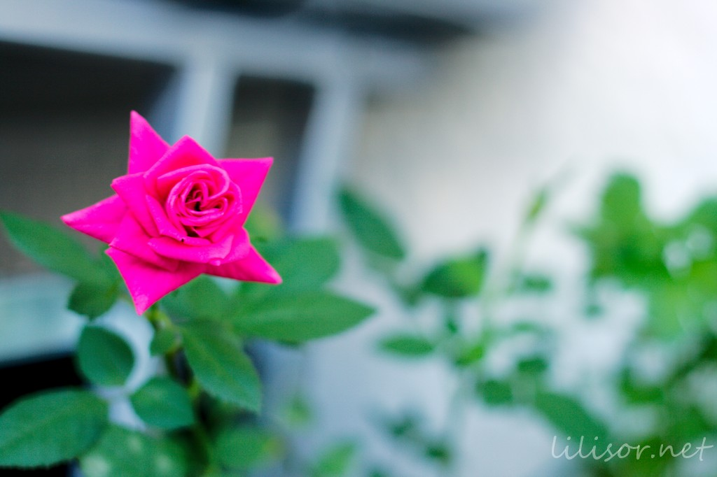 trandafir inflorit