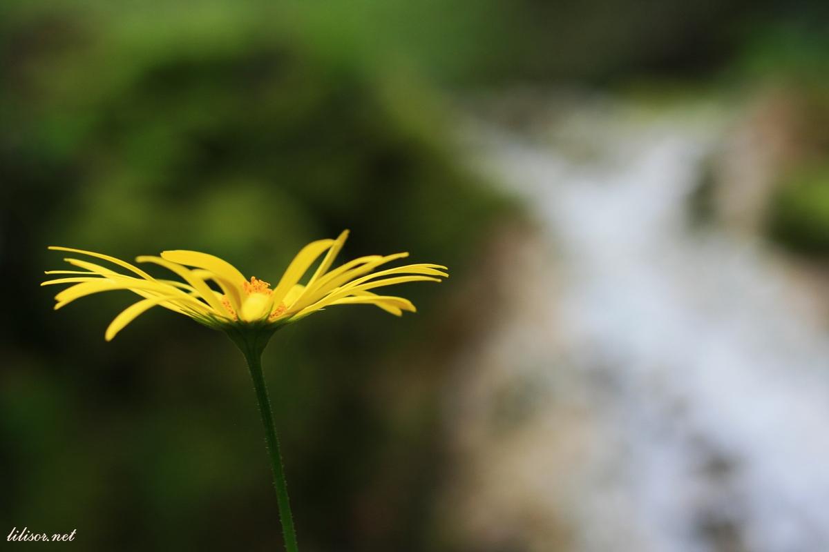 floare-galbena-cheile-videi