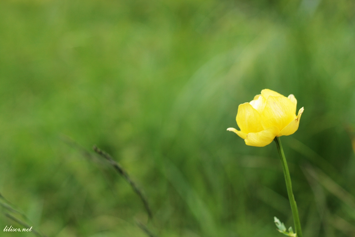 floare galbena la munte