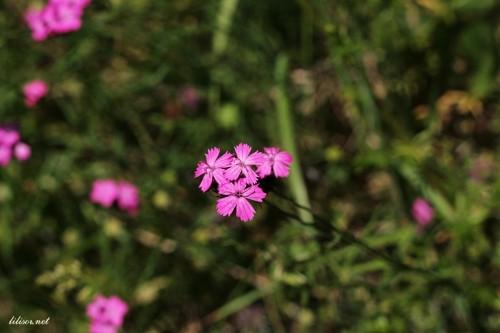 floare-mov