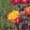 trandafir galben portocaliu