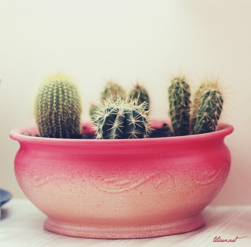cactus-in-ghiveci