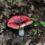 ciuperca rosie