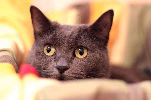russian-kitty