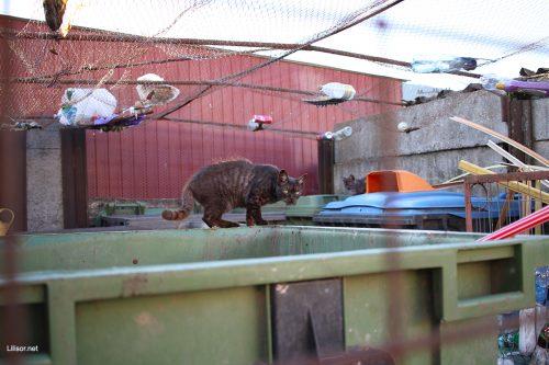 pisici-tomberoneze