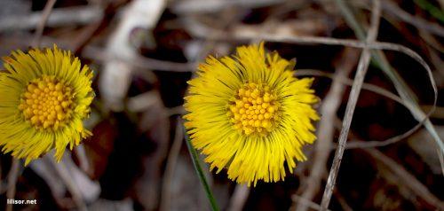 floare-galbena