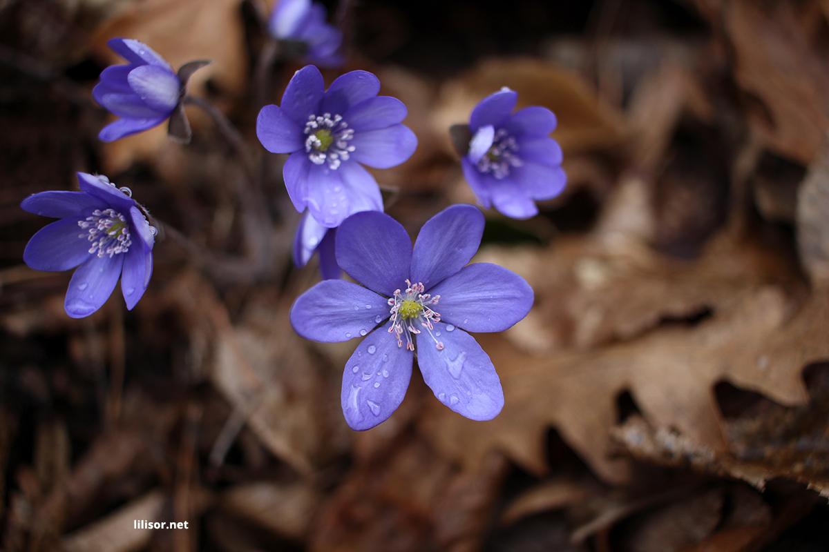 flori-albastre-primavara