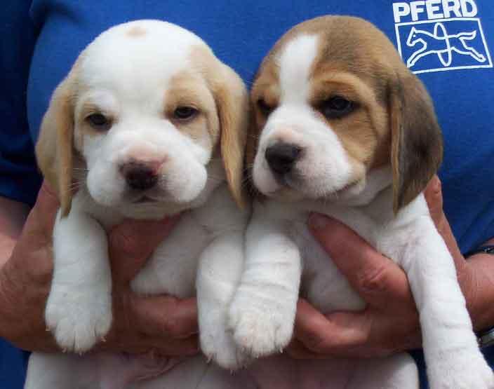 beagle.jpg