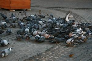 pidgeons in Oradea