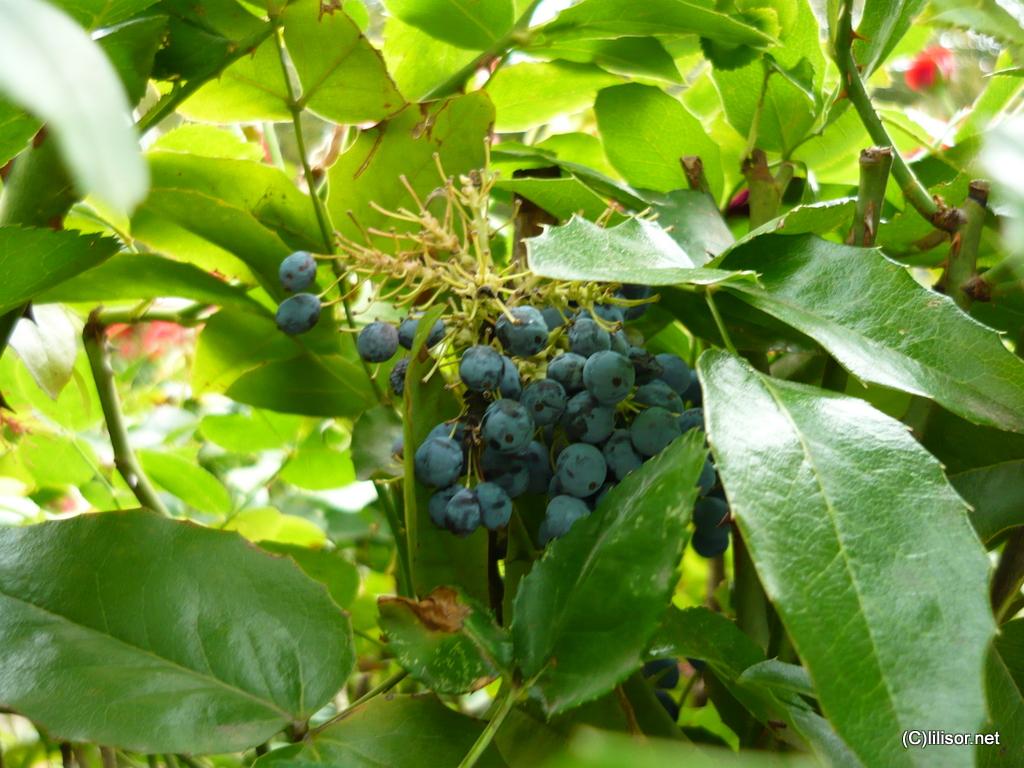 fructe albastre