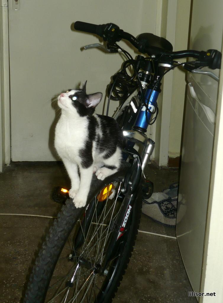 pisica pe bicicleta