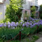 gradina cu irisi