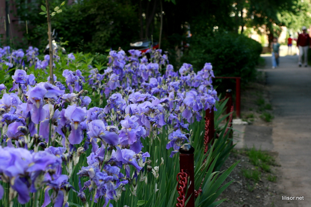 irisi flori mov
