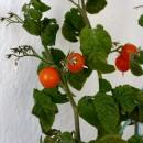 rosii jardiniera