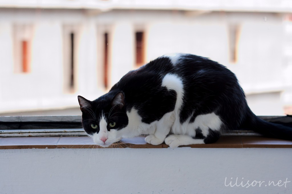 pisica pe balcon