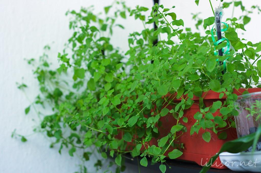 planta curgatoare