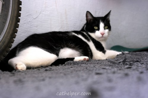 pisica cu burta grasa