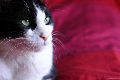 pisica de rasa comuna