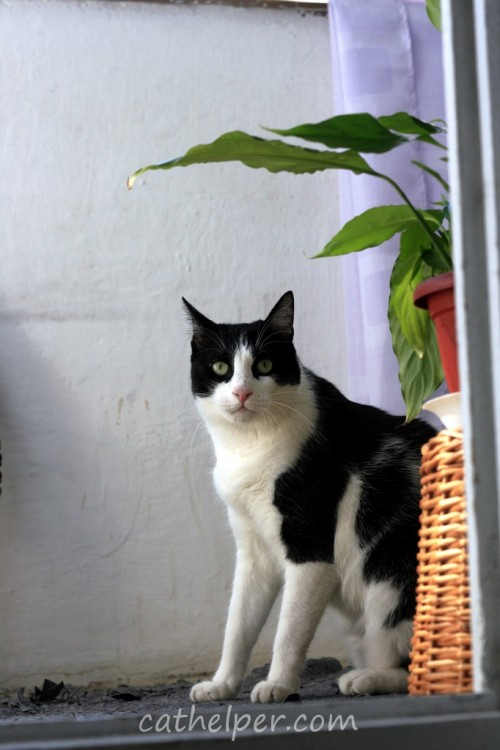 pisica grasa