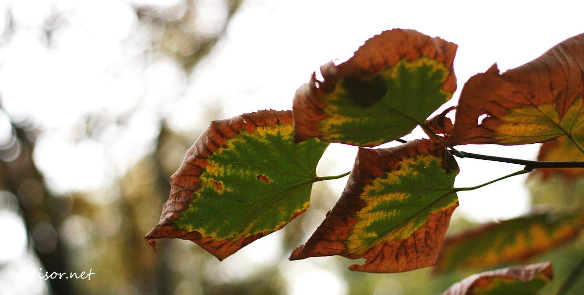 frunze in 3 culori