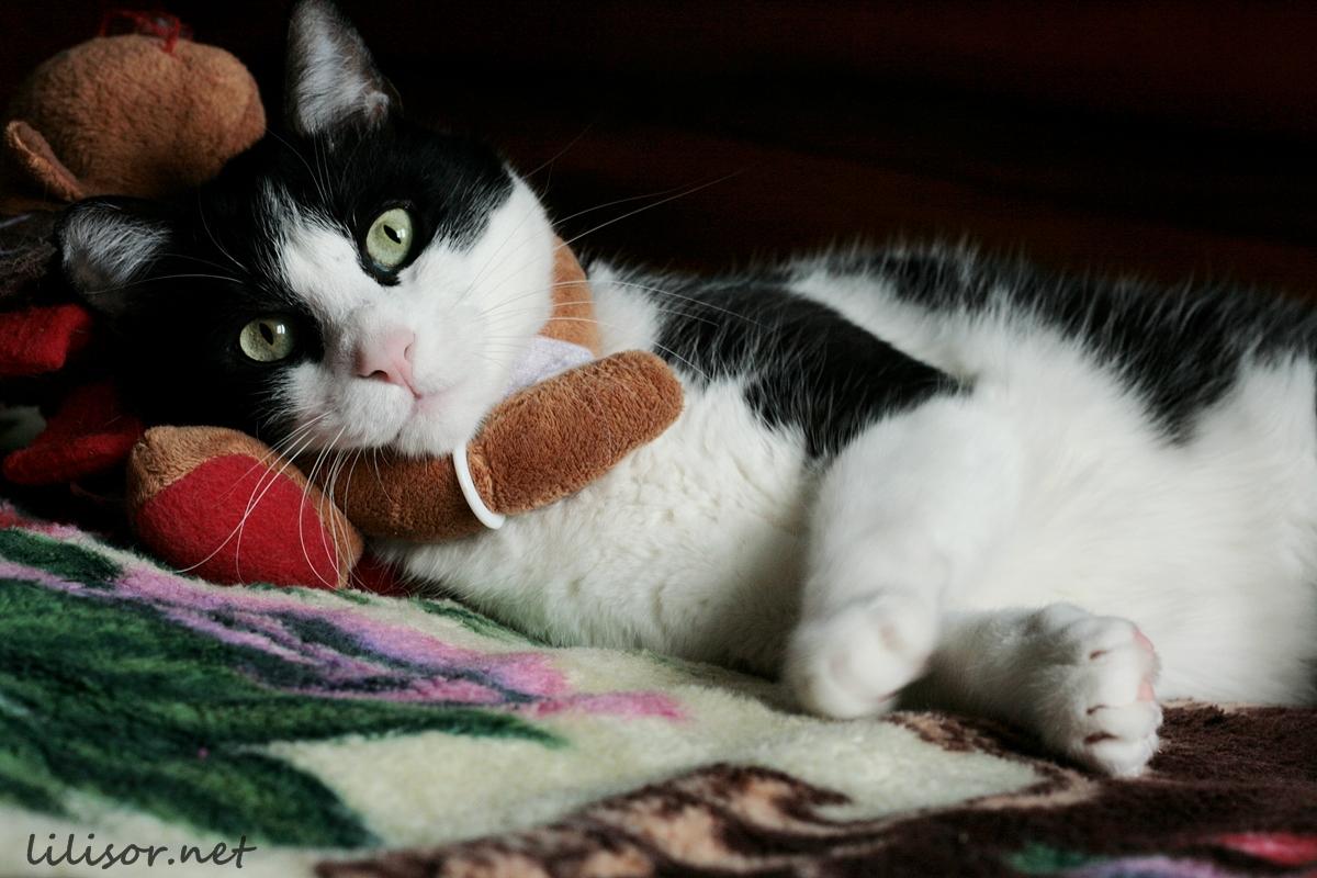 pisica nemernica