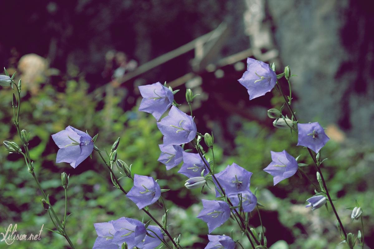 flori albastre pestera meziad