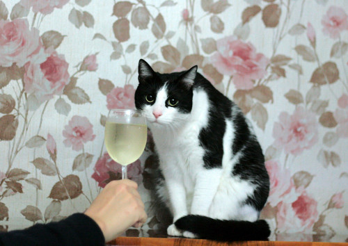 cat and champagne