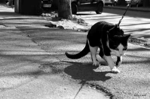 pisica plimbare lesa