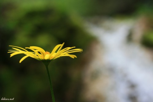 floare galbena cheile videi