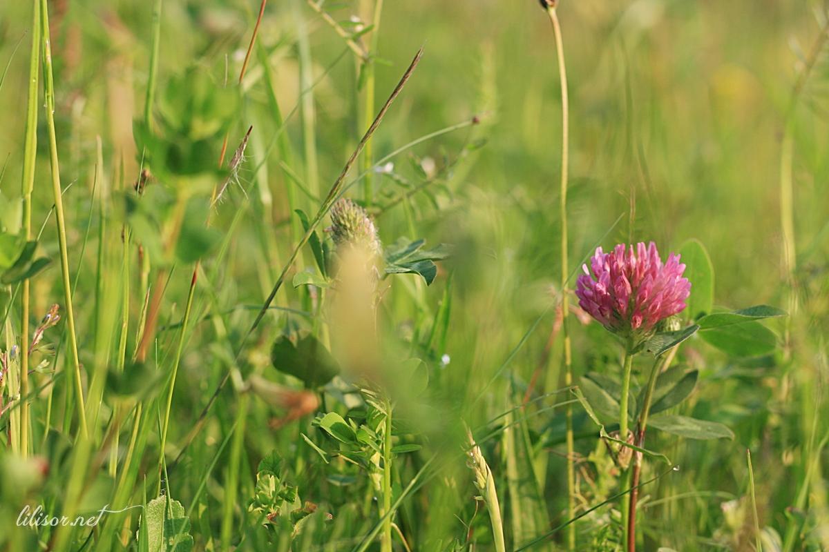 floare de trifoi