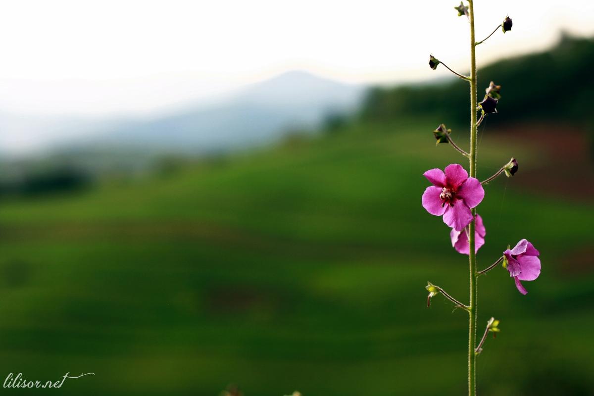 floare pe deal