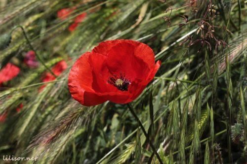 floare-de-mac