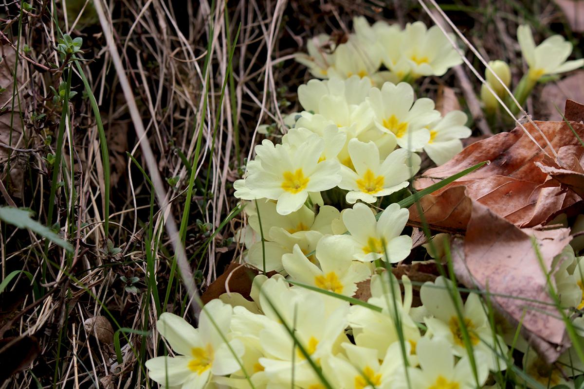 primula-floare