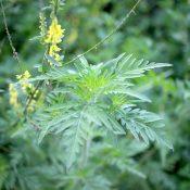 cum arata planta ambrozie?