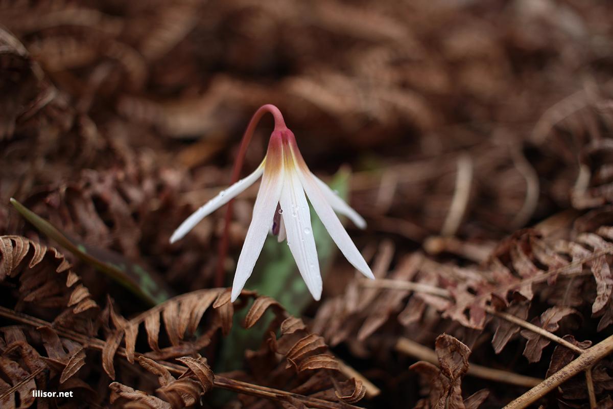 floare-alba