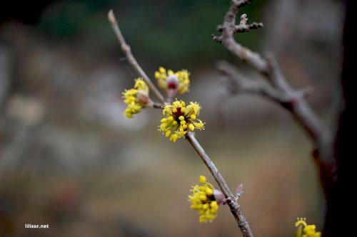 flori-galbene