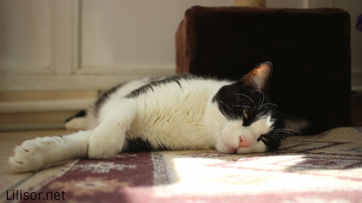 pisica-lenevind-in-soarele-amiezii